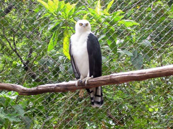 Black-and-white Hawk-Eagle | Spizastur melanoleucus photo