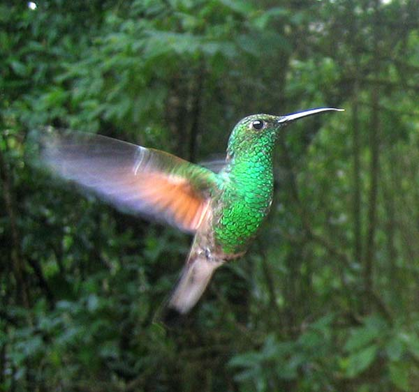 Stripe-tailed Hummingbird | Eupherusa eximia photo