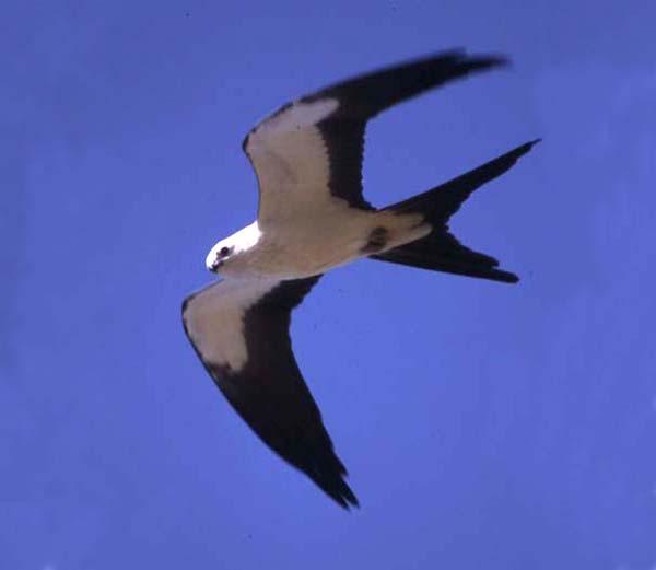 Swallow-tailed Kite | Elanoides forficatus photo