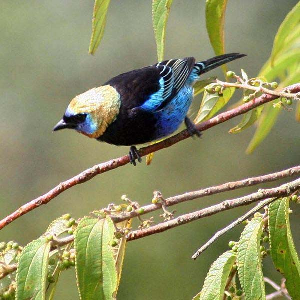 Golden-hooded Tanager | Tangara larvata photo