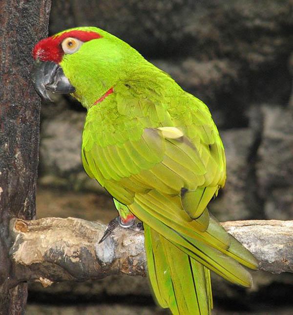 Thick-billed Parrot | Rhynchopsitta pachyrhyncha photo