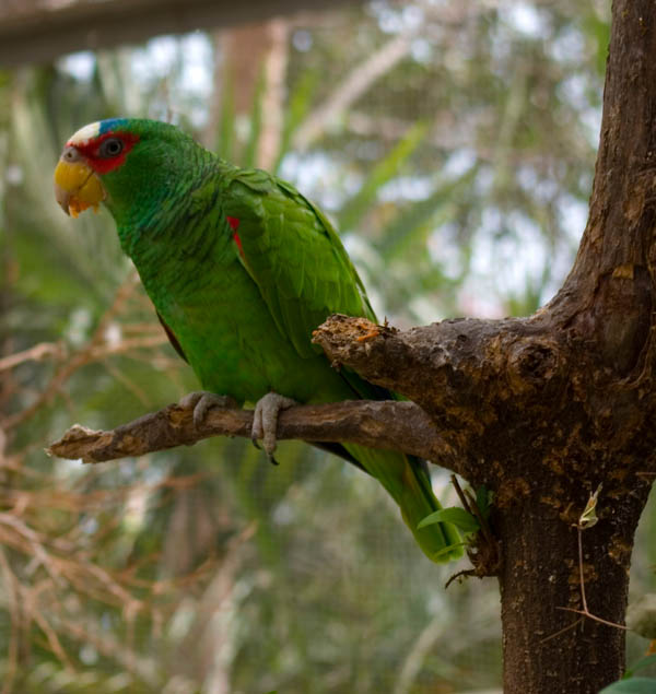 White-fronted Parrot   Amazona albifrons photo
