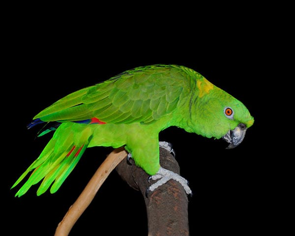 Yellow-naped Parrot | Amazona auropalliata photo
