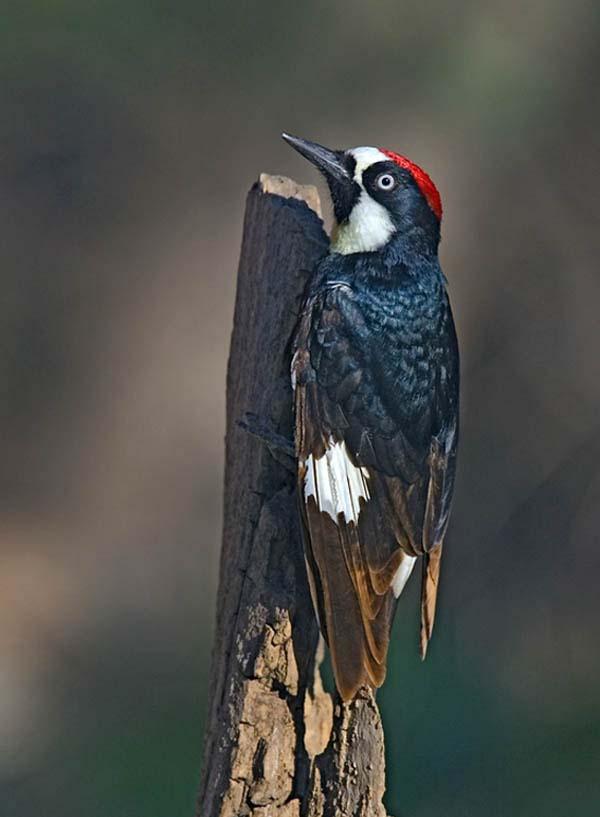 Acorn Woodpecker | Melanerpes formicivorus photo