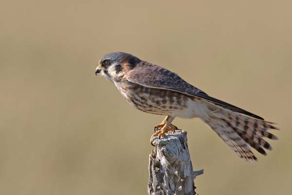 American Kestrel | Falco sparverius photo