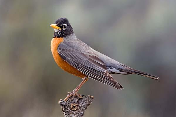 American Robin   Turdus migratorius photo