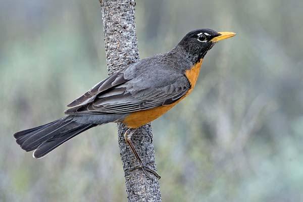 American Robin | Turdus migratorius photo