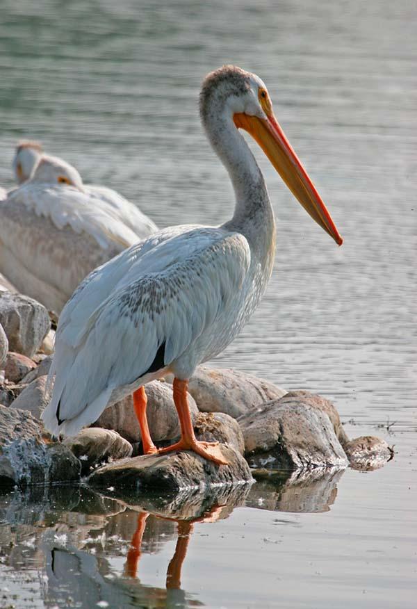American White Pelican | Pelecanus erythrorhynchos photo