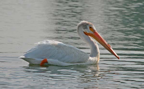 American White Pelican   Pelecanus erythrorhynchos photo