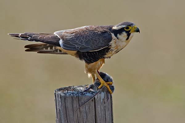Aplomado Falcon | Falco femoralis photo