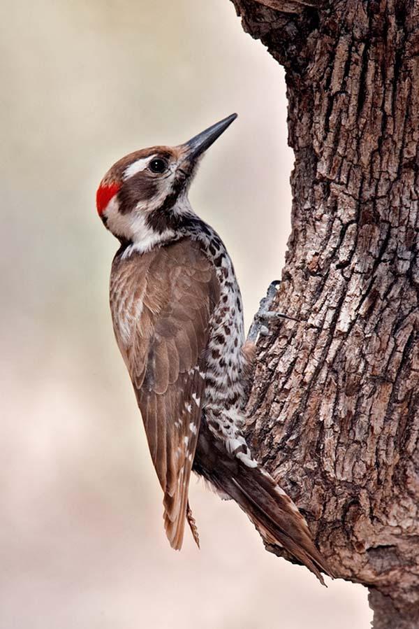 Arizona Woodpecker | Picoides arizonae photo