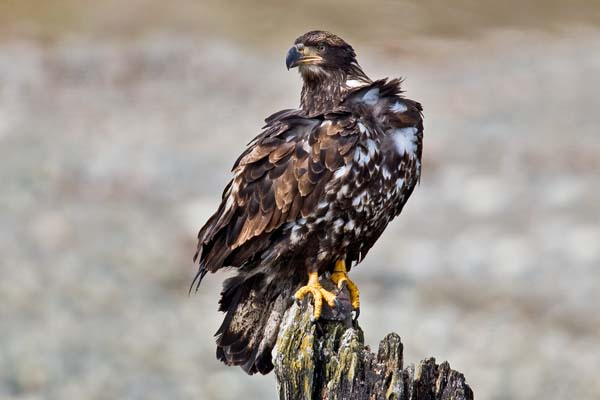 Bald Eagle | Haliaeetus leucocephalus photo
