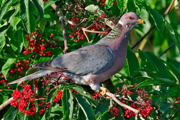 Band-tailed Pigeon | Patagioenas fasciata photo