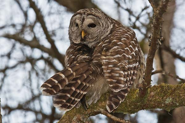 Barred Owl | Strix varia photo