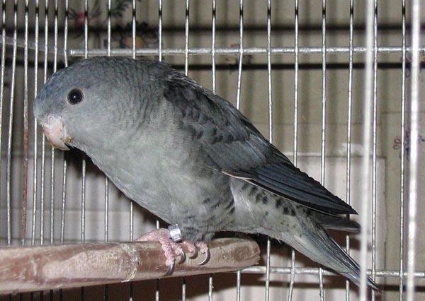 Barred Parakeet | Bolborhynchus lineola photo