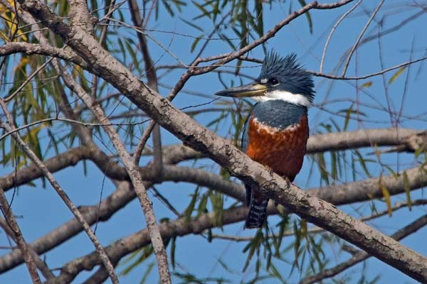 Belted Kingfisher   Ceryle alcyon photo