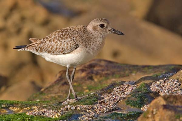 Black-bellied Plover | Pluvialis squatarola photo