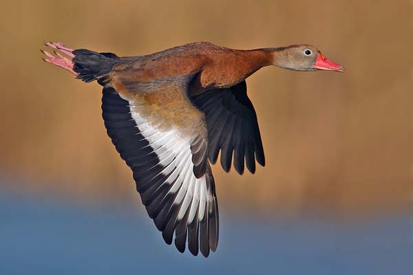 Black-bellied Whistling-Duck | Dendrocygna autumnalis photo