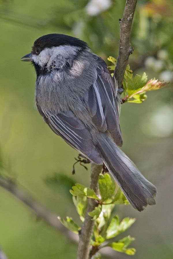 Black-capped Chickadee | Poecile atricapillus photo