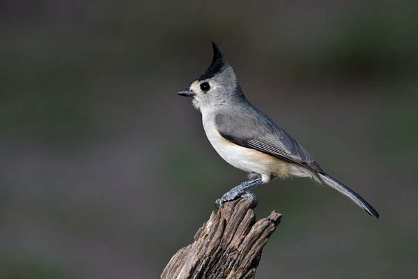 Black-crested Titmouse | Baeolophus atricristatus photo