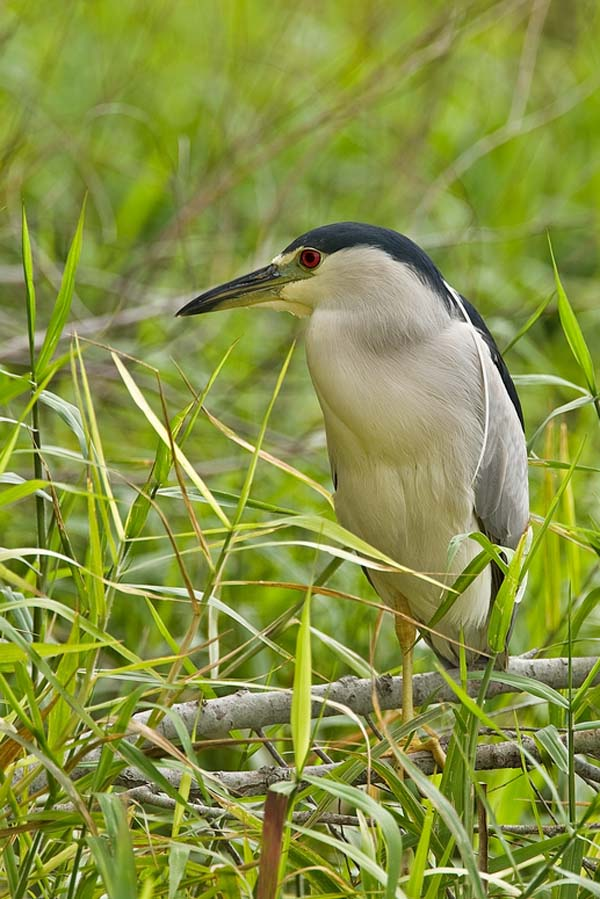 Black-crowned Night-Heron | Nycticorax nycticorax photo