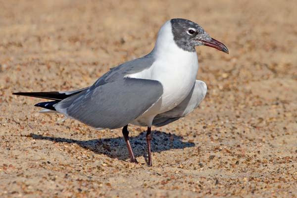 Black-headed Gull | Larus ridibundus photo
