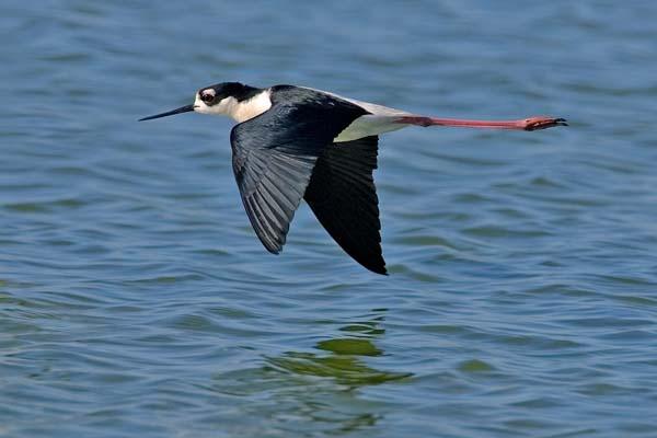 Black-necked Stilt | Himantopus mexicanus photo