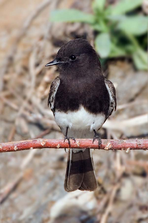 Black Phoebe | Sayornis nigricans photo
