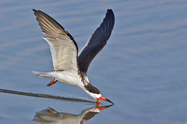 Black Skimmer | Rynchops niger photo
