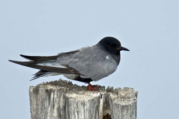 Black Tern   Chlidonias niger photo