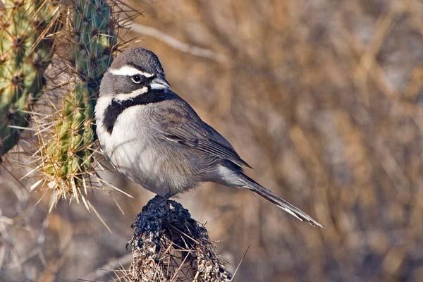Black-throated Sparrow | Amphispiza bilineata photo