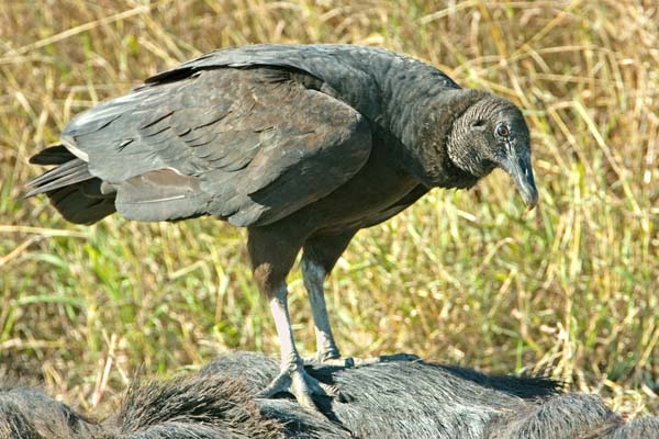 Black Vulture | Coragyps atratus photo