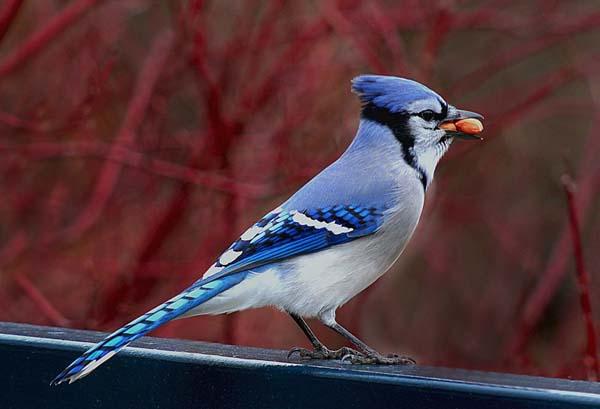 Blue Jay   Cyanocitta cristata photo