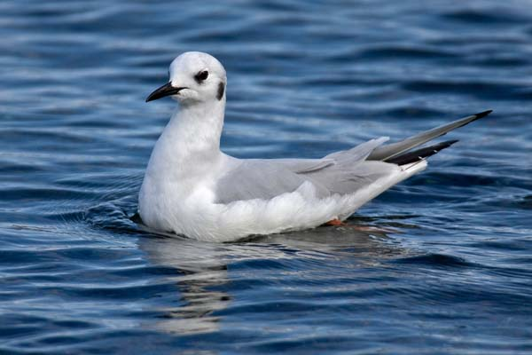Bonaparte's Gull | Larus philadelphia photo