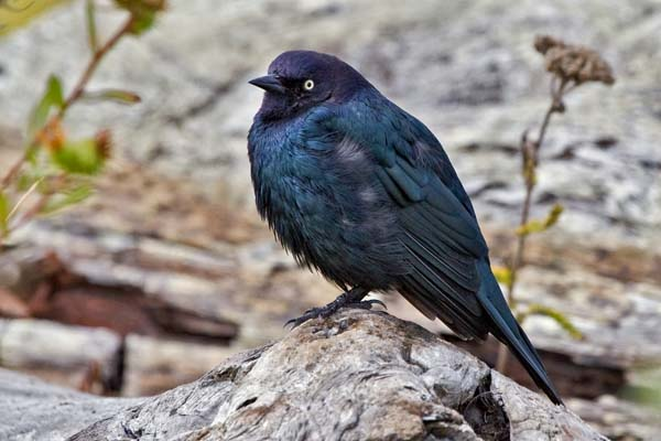 Brewer's Blackbird | Euphagus cyanocephalus photo