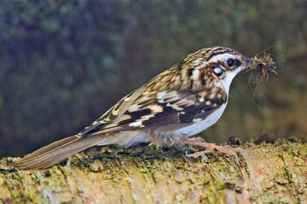 Brown Creeper | Certhia americana photo