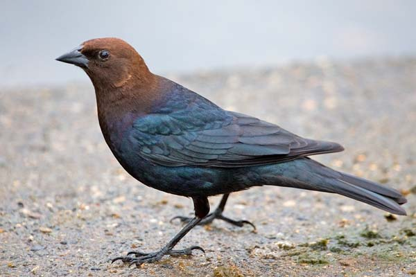 Brown-headed Cowbird | Molothrus ater photo