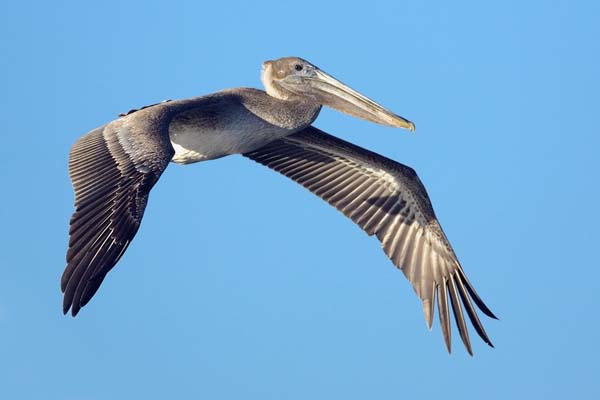 Brown Pelican | Pelecanus occidentalis photo