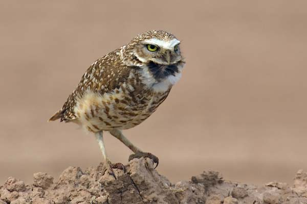 Burrowing Owl | Athene cunicularia photo