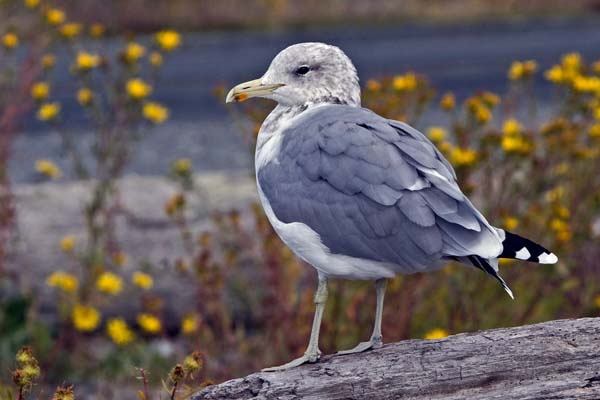 California Gull | Larus californicus photo