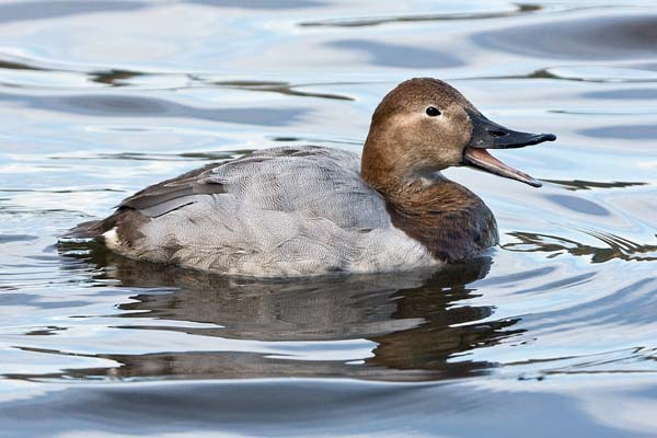 Canvasback | Aythya valisineria photo