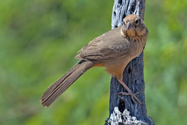 Canyon Towhee | Pipilo fuscus photo