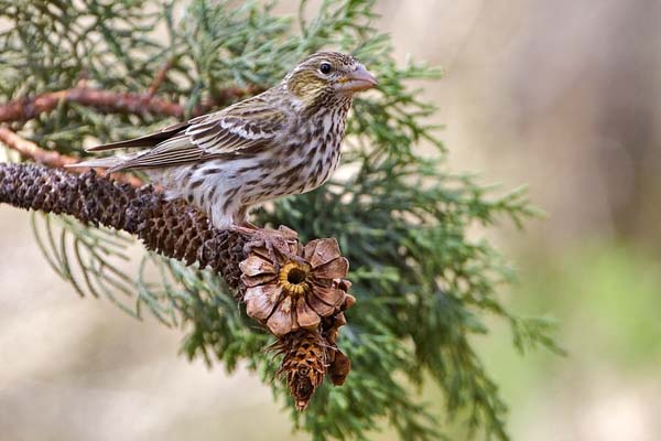 Cassin's Finch | Carpodacus cassinii photo