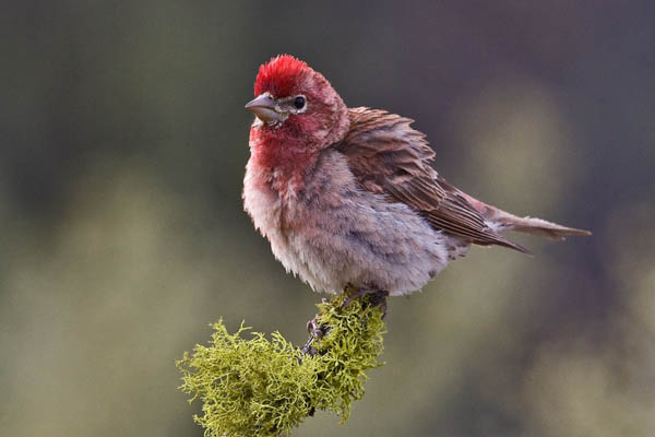 Cassin's Finch | Carpodacus cassinii photo
