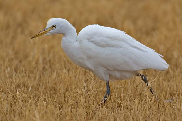 Cattle Egret | Bubulcus ibis photo