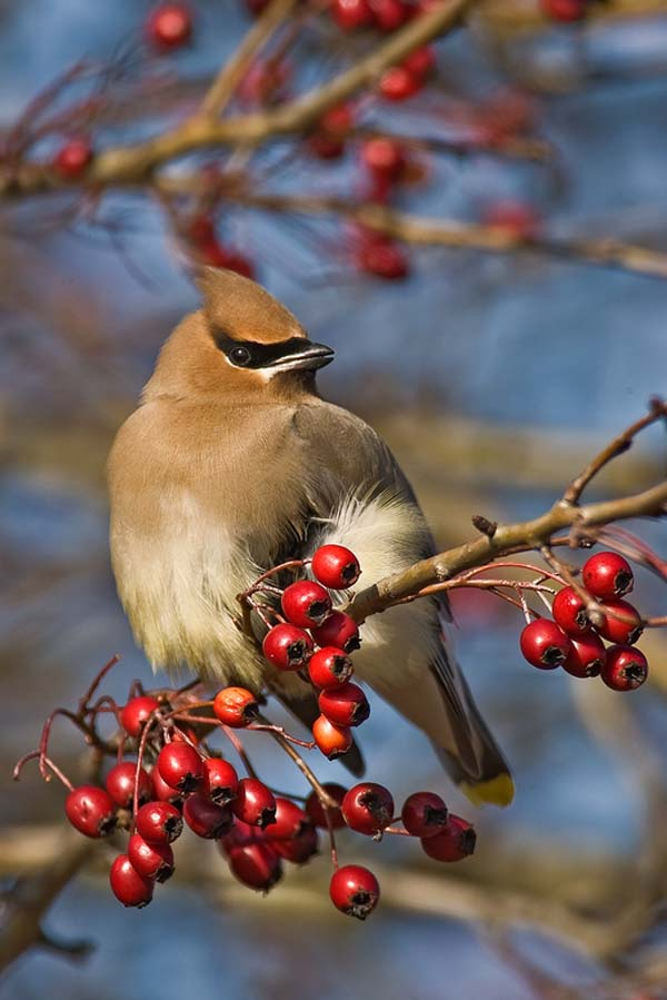 Cedar Waxwing | Bombycilla cedrorum photo