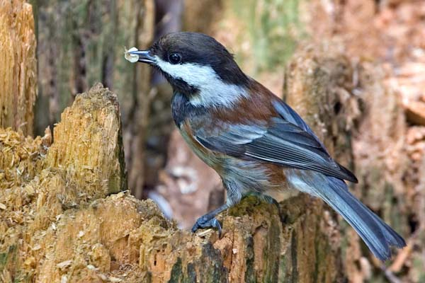 Chestnut-backed Chickadee | Poecile rufescens photo