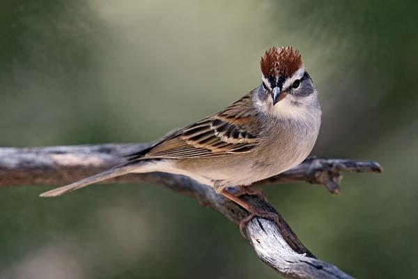 Chipping Sparrow   Spizella passerina photo