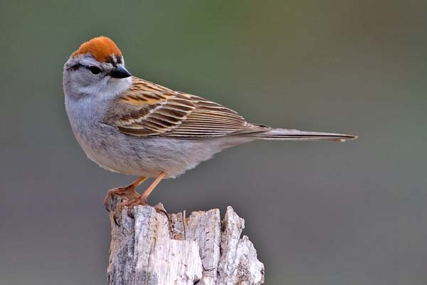 Chipping Sparrow | Spizella passerina photo