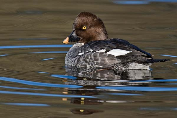 Common Goldeneye | Bucephala clangula photo